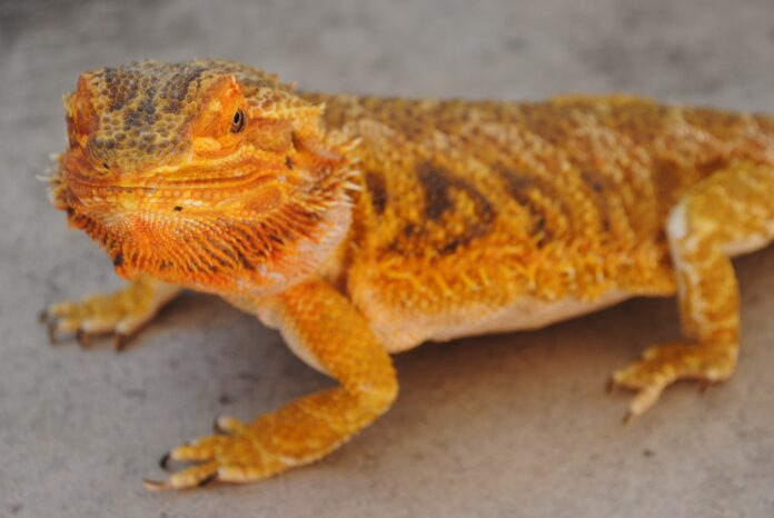 A-bearded-dragon-696x466.jpg